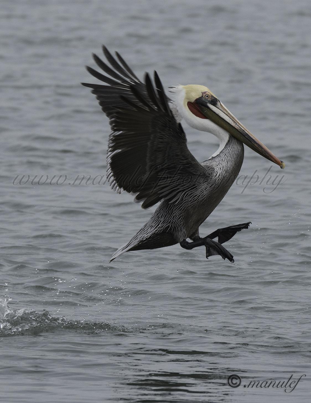 Pelican  055