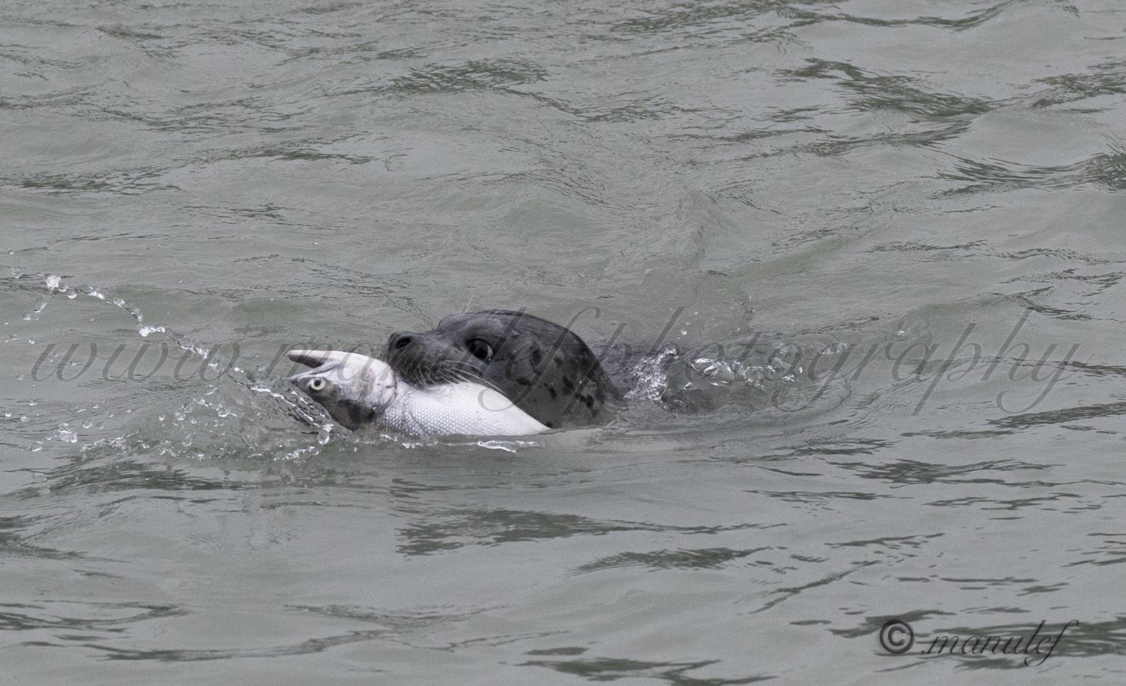 Seal  003