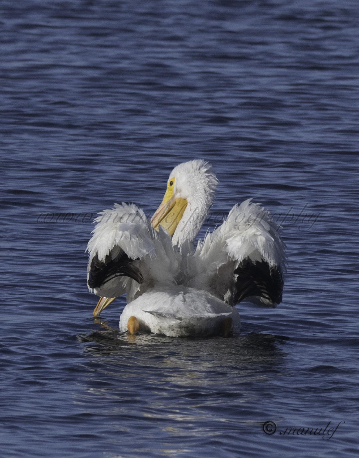 White Pelican  087