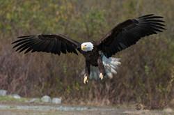Bald Eagle  019
