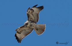 Prairie Falcon  058