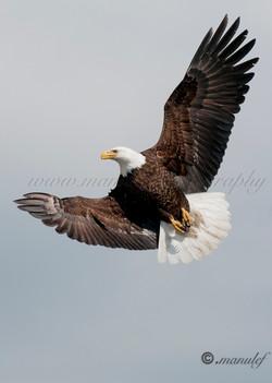 Bald Eagle  017