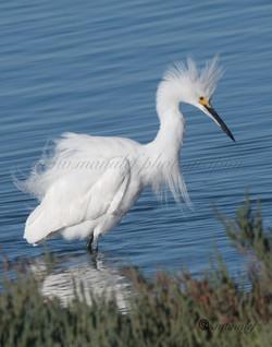 Snowy Egret  086