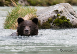 Brown Bear ( Grizzly )  021