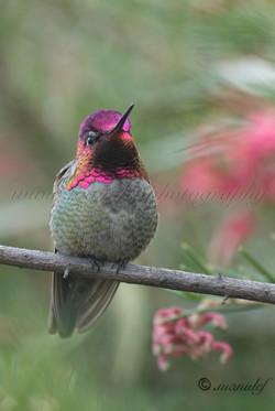 Costa's Humningbird  091