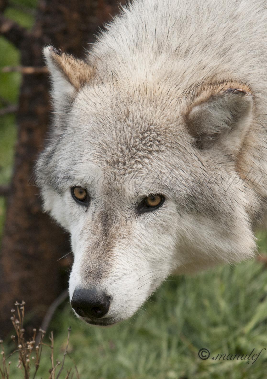 Wolf  010