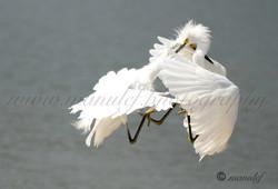 Snowy Egret  063