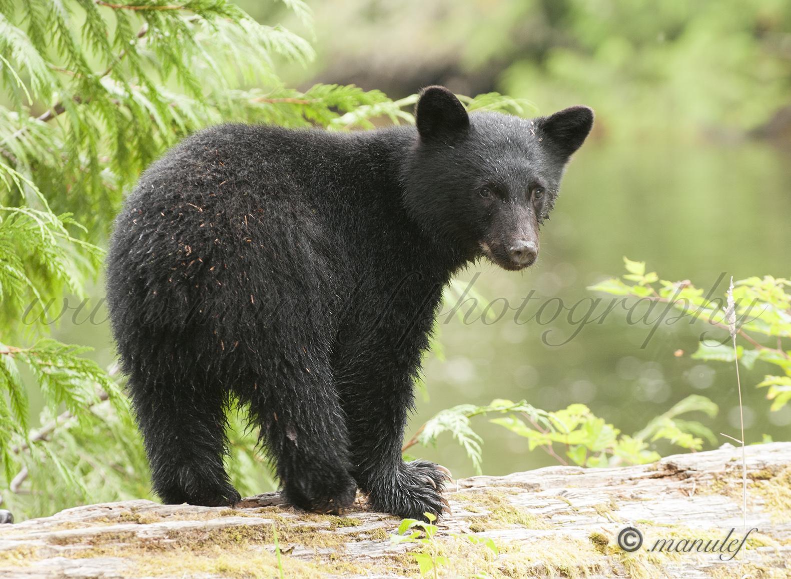 Black Bear  008