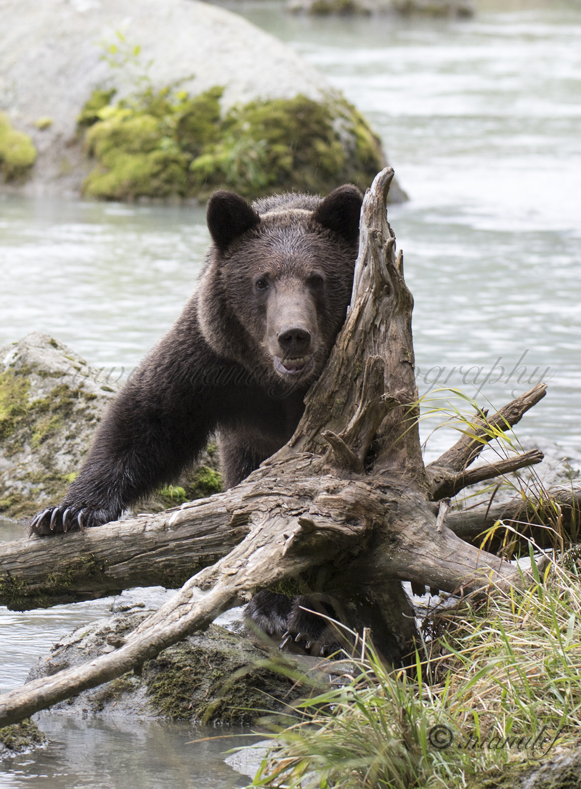 Brown Bear ( Grizzly )  023