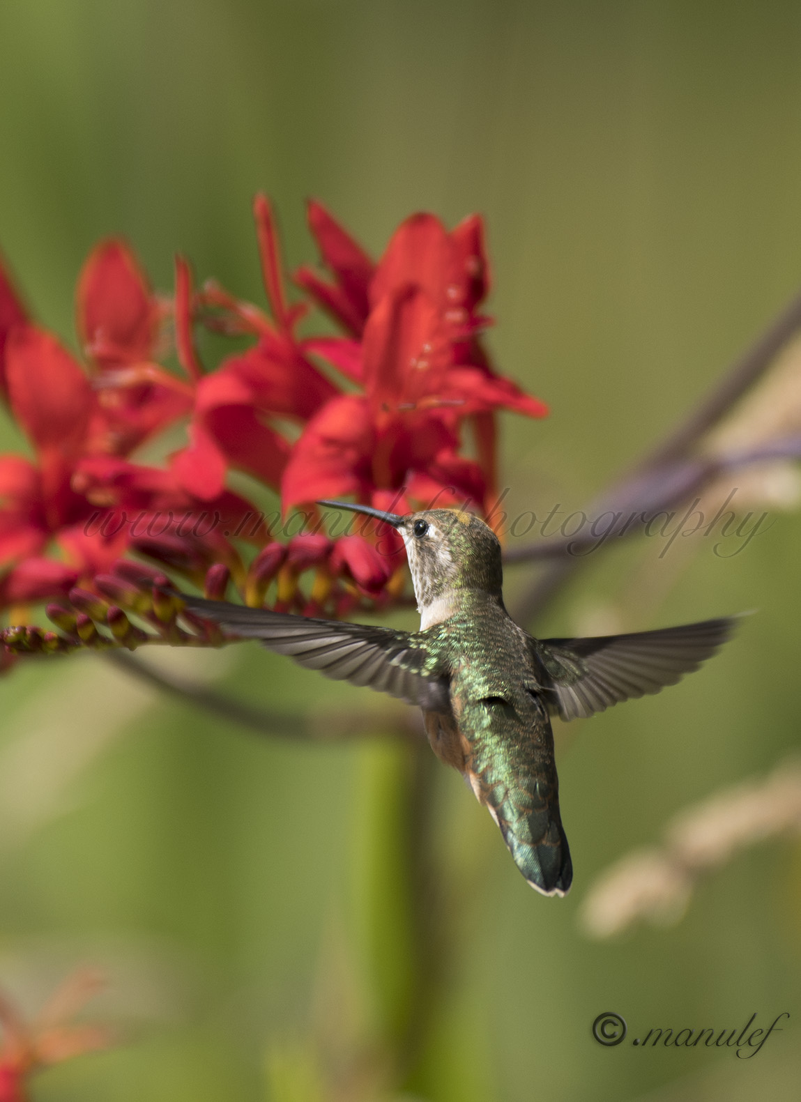 Allen's Hummingbird  005
