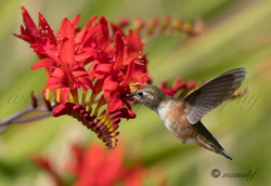 Allen's Hummingbird  004