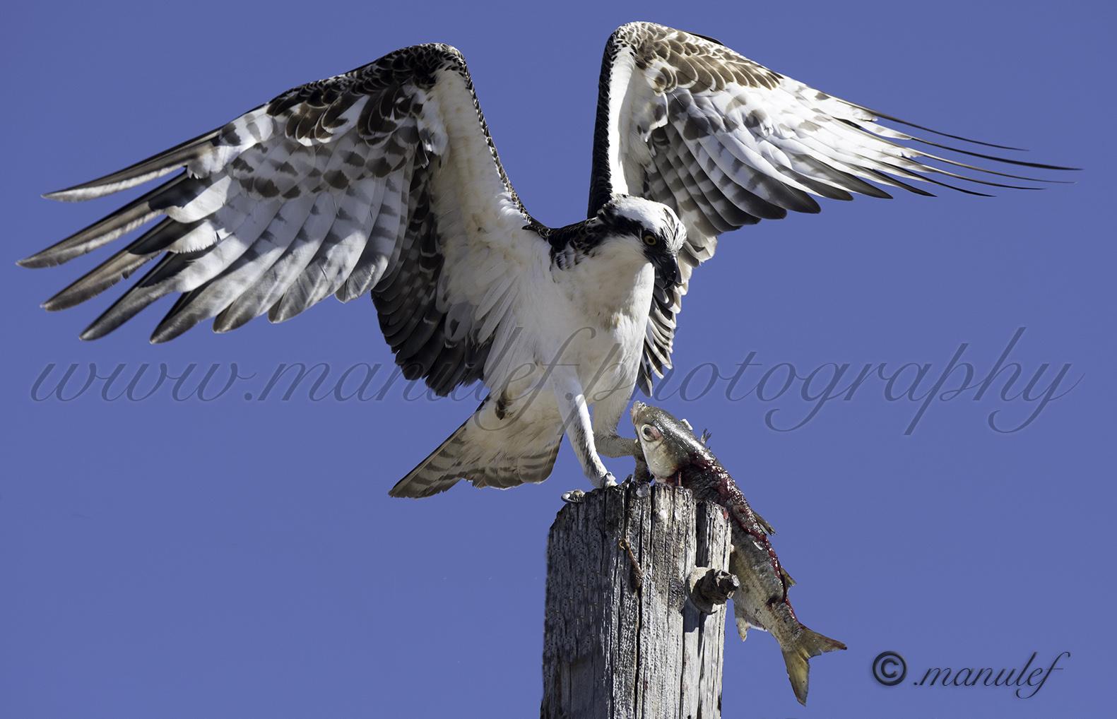 Osprey  046