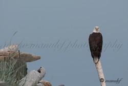 Bald Eagle  013
