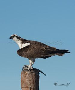 Osprey  079