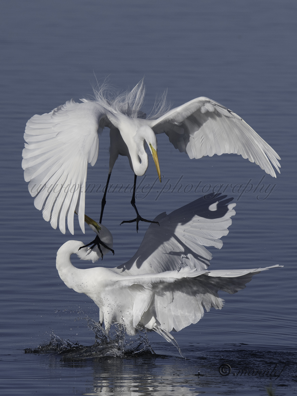 Great Egret  076