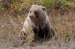 Brown Bear ( Grizzly )  012