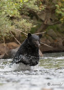 Black Bear  011