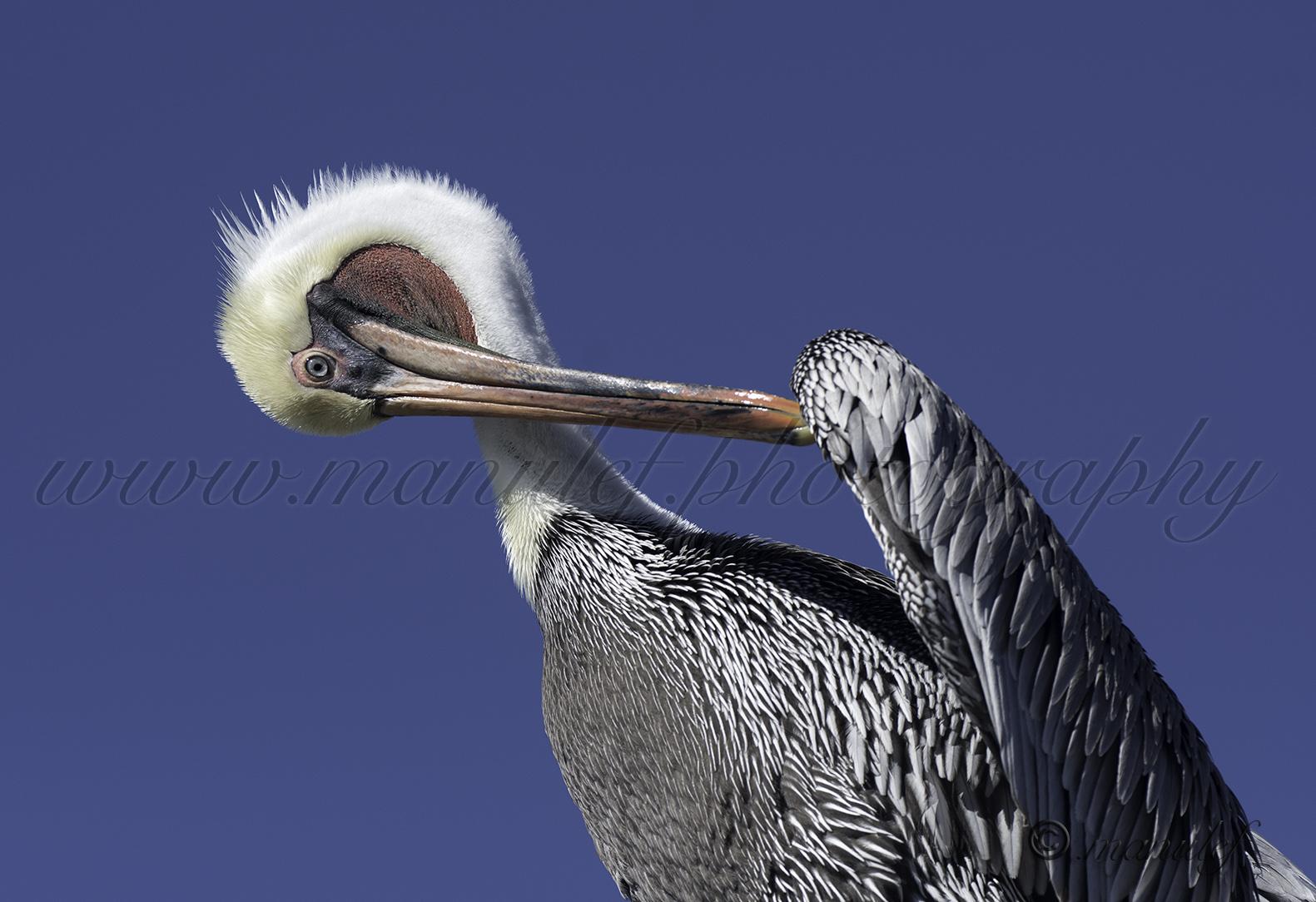 Pelican  051