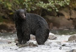 Black Bear  005