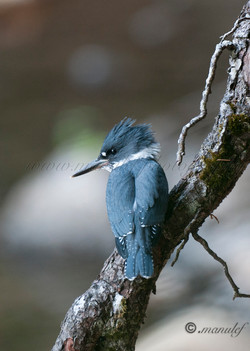 Kingfisher  040