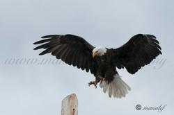 Bald Eagle  011