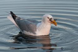 Gull  038