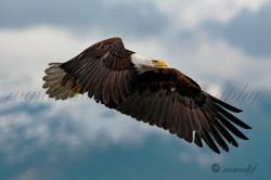 Bald Eagle  018