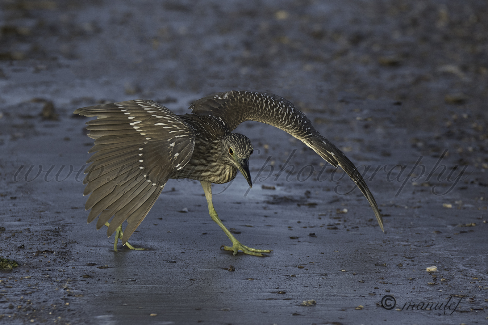 Green Heron  037