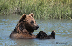 Brown Bear ( Grizzly )  016
