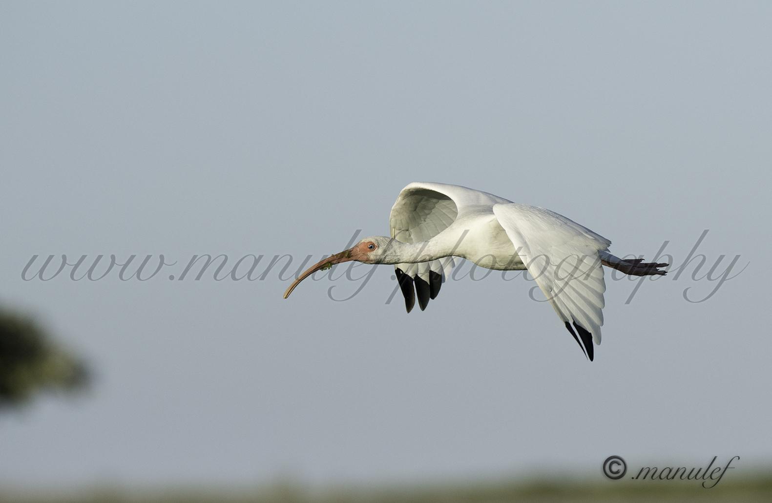 White Ibis  067