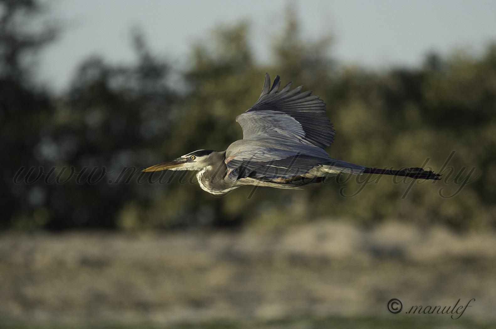 Great Heron  033