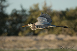Great Heron  033