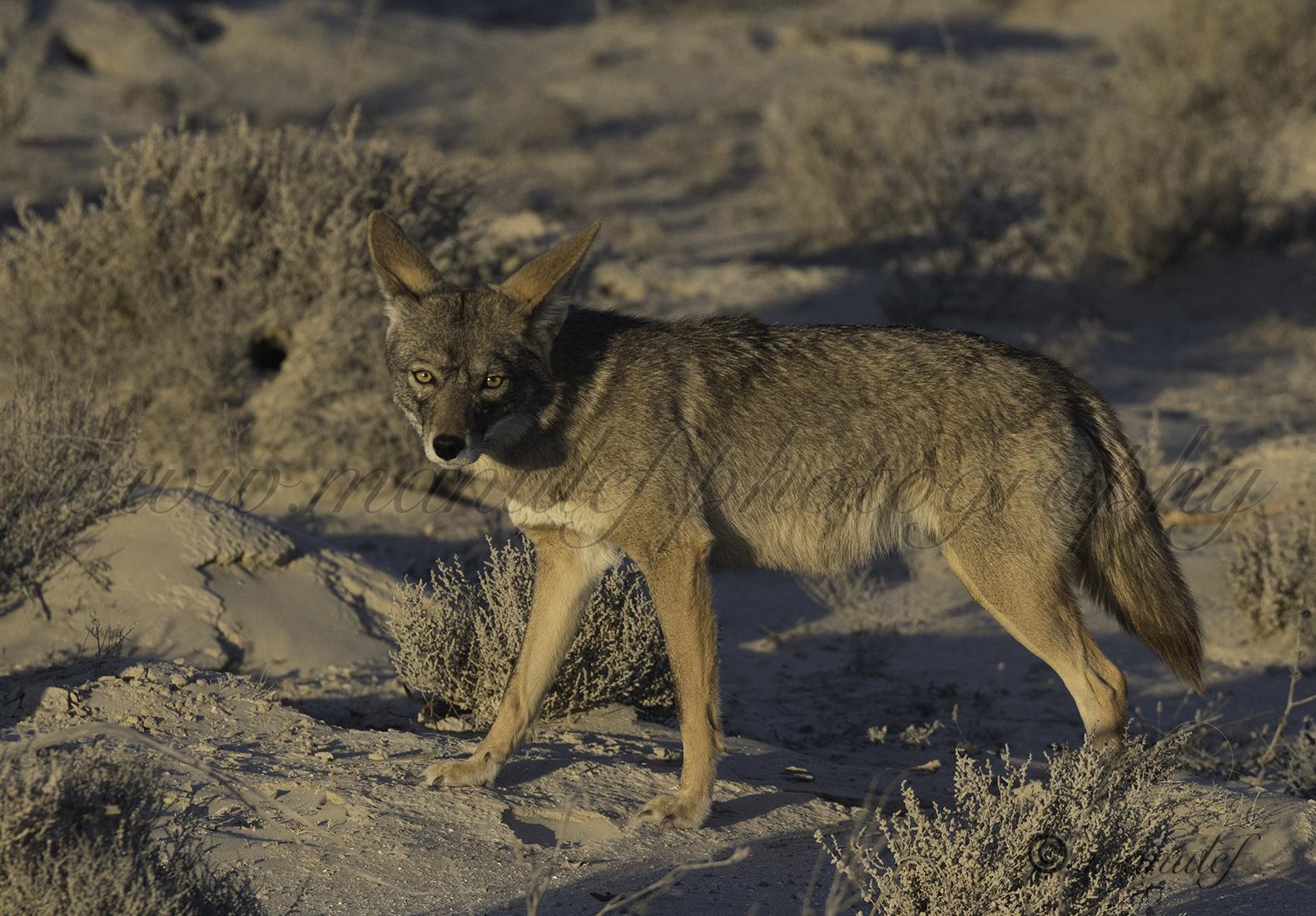 Coyote  012