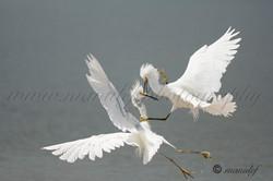 Snowy Egret  061