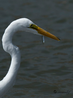 Great Egret  029