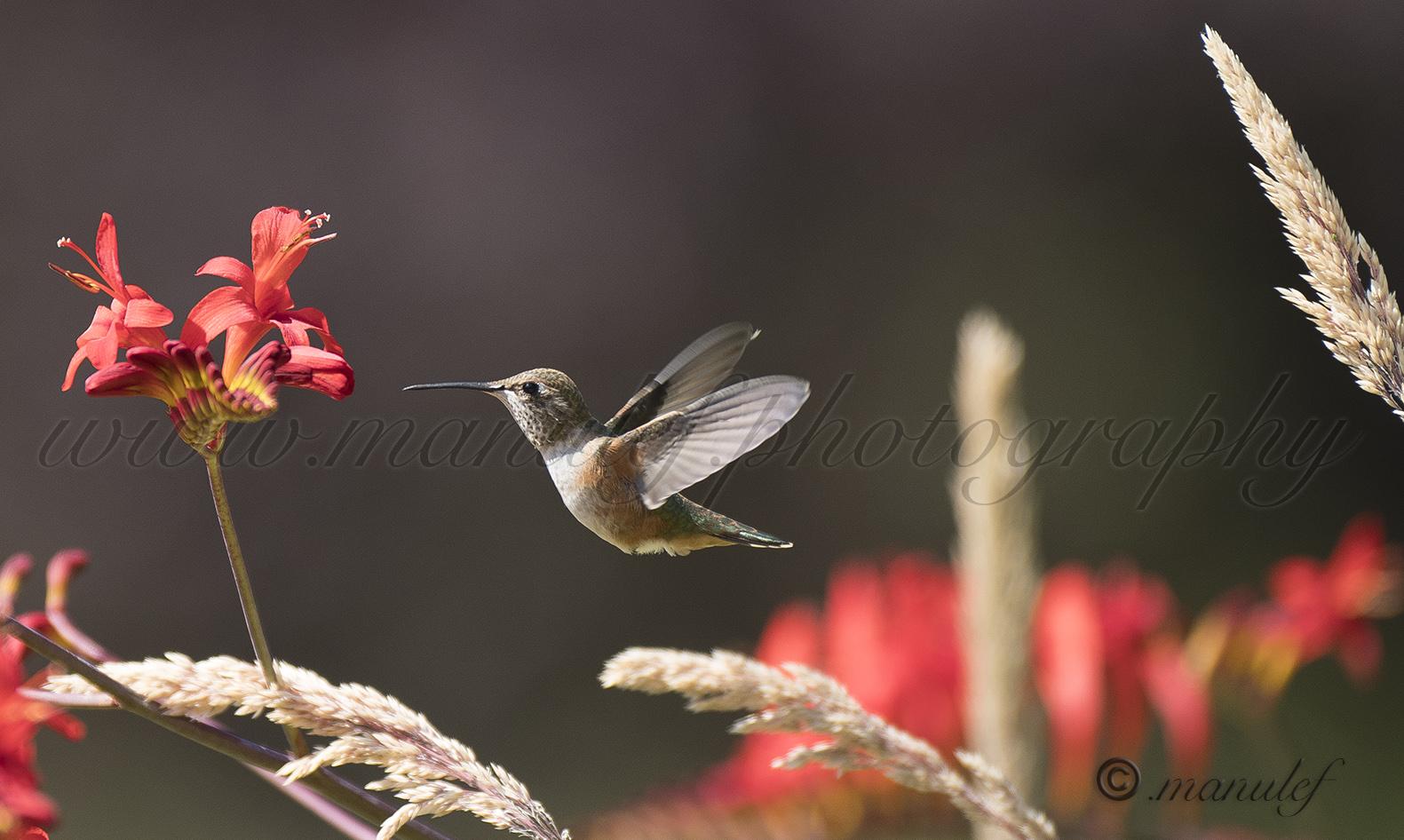 Allen's Hummingbird  003