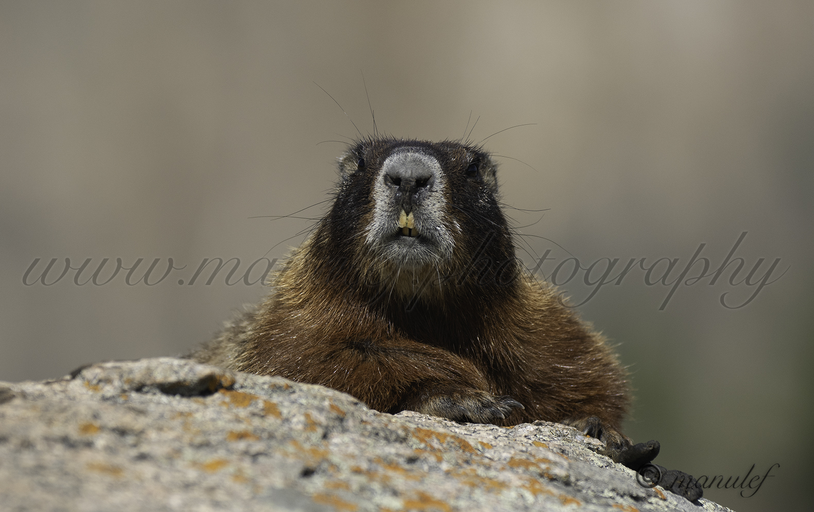 Yellow-bellied Marmot  012