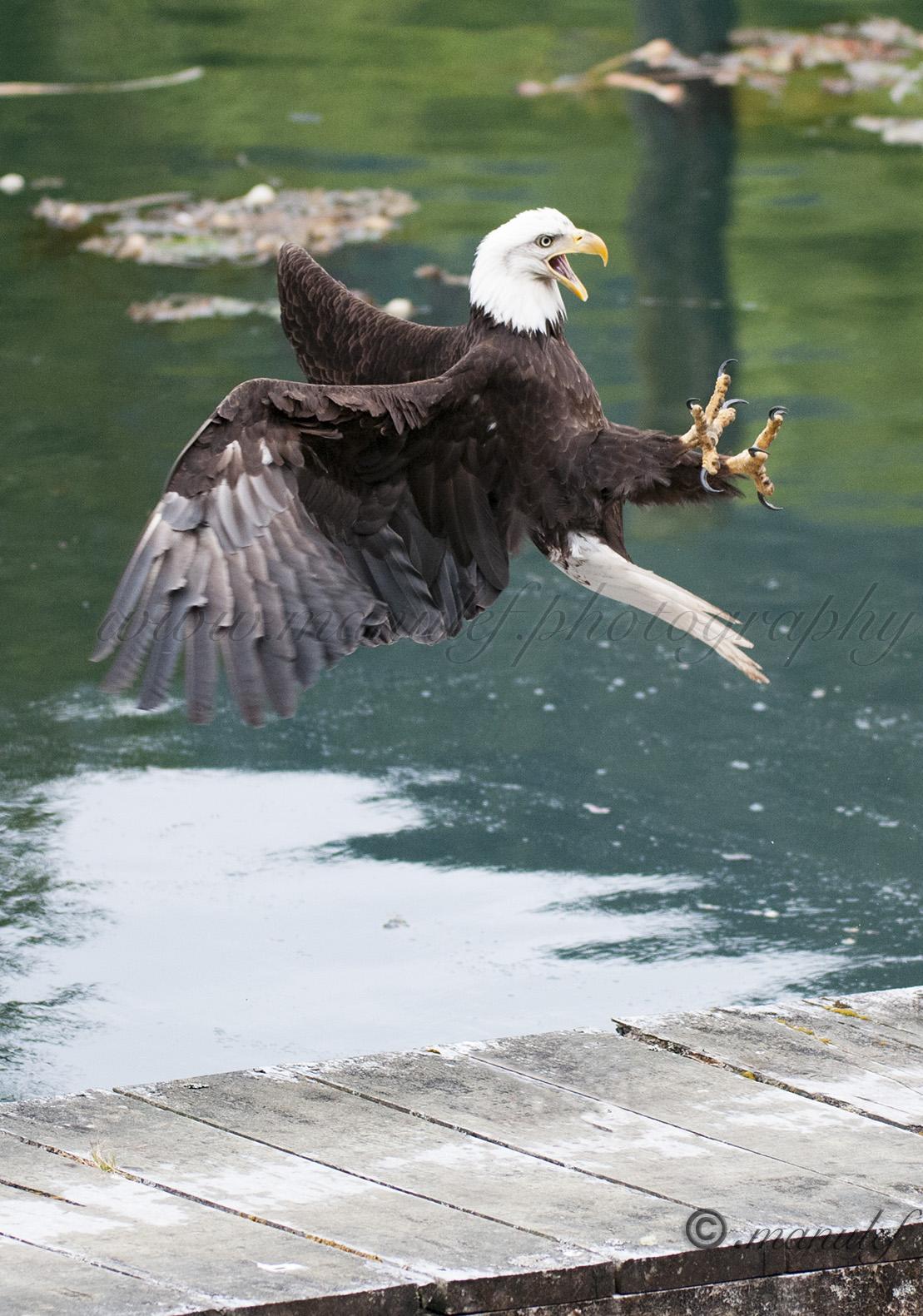 Bald Eagle  015