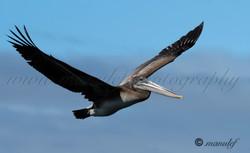 Pelican  050