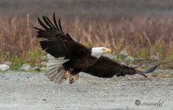 Bald Eagle  016
