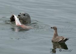 Seal  004