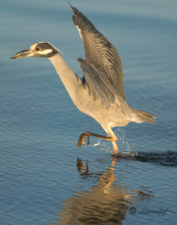 Yellow Crowned Night Heron  068