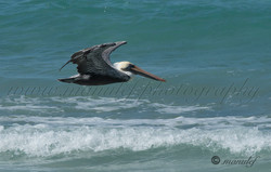 Pelican  049