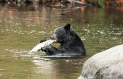 Black Bear  001