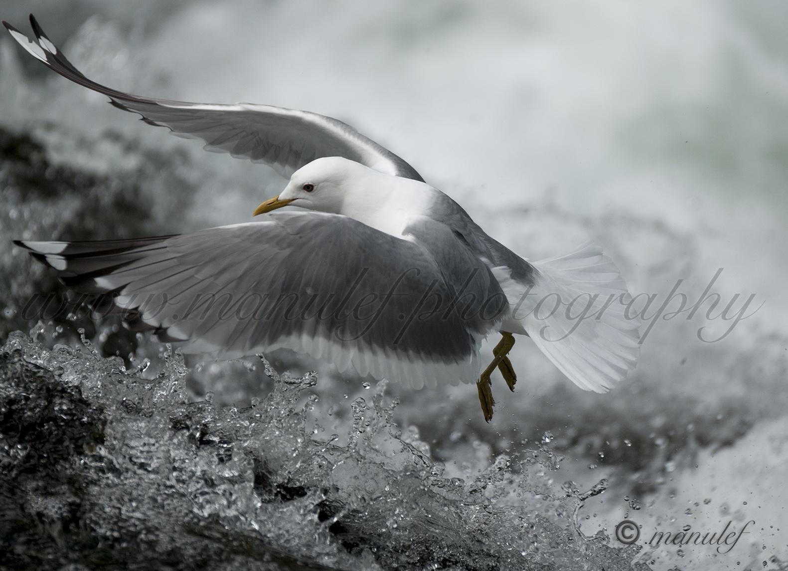 Gull  039