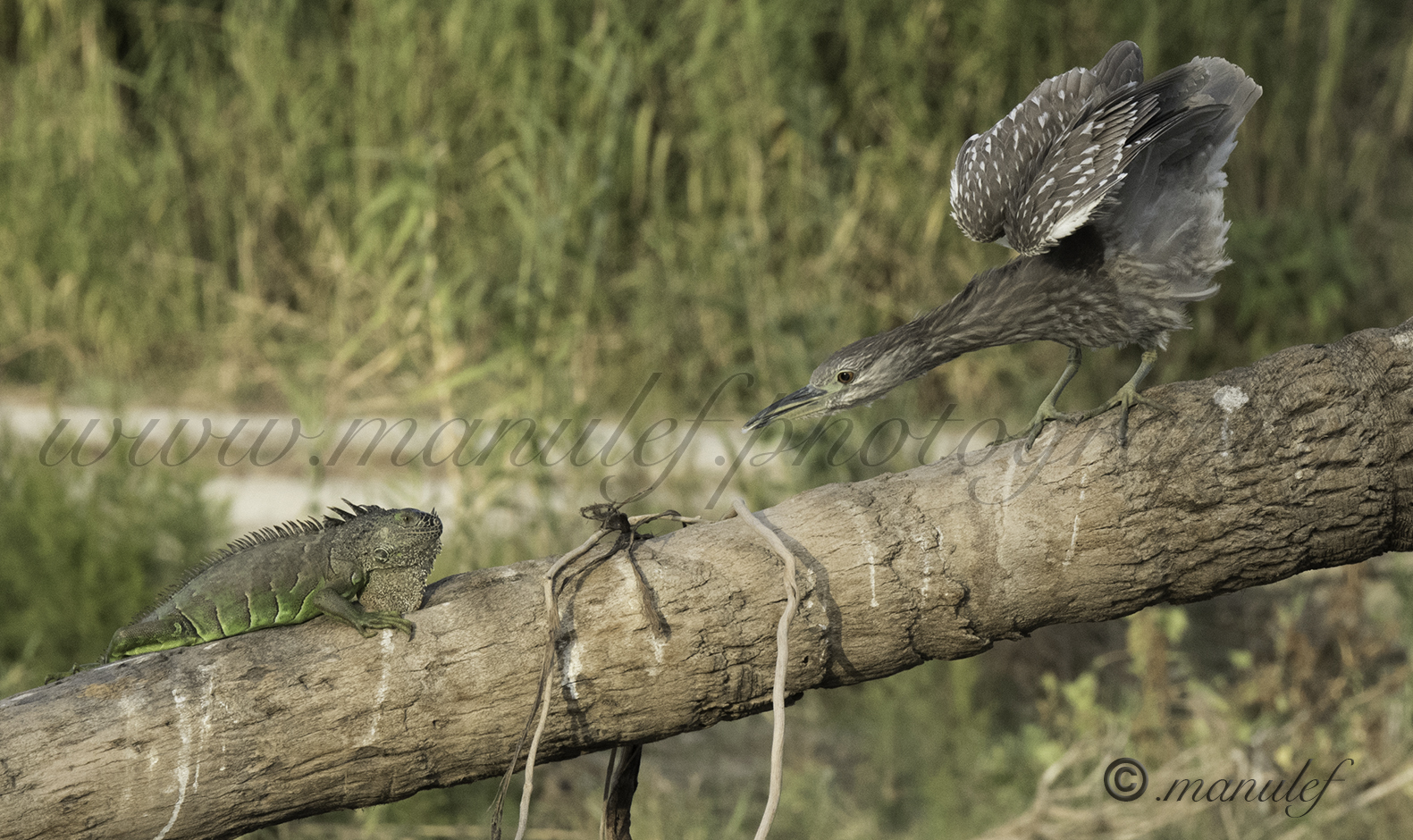 Iguane Vs Green Heron