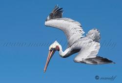 Pelican  054