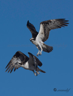 Osprey  083