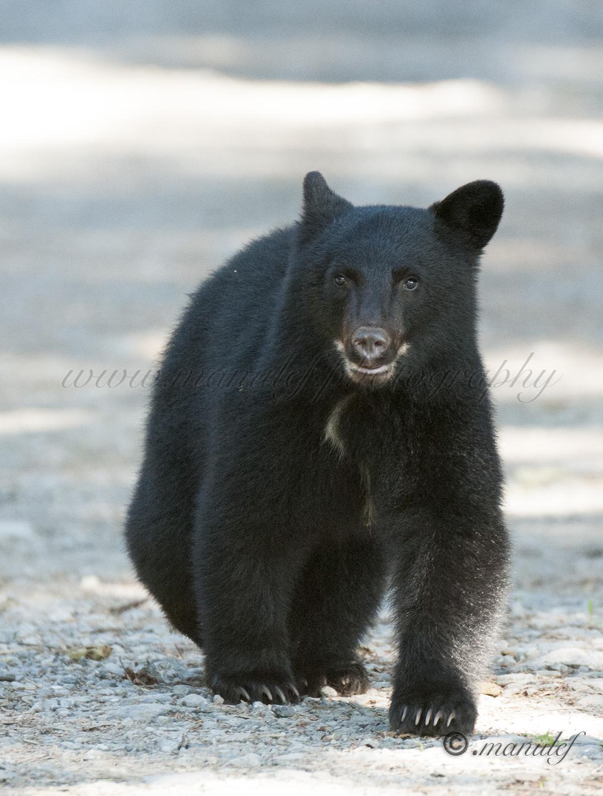 Black Bear  007