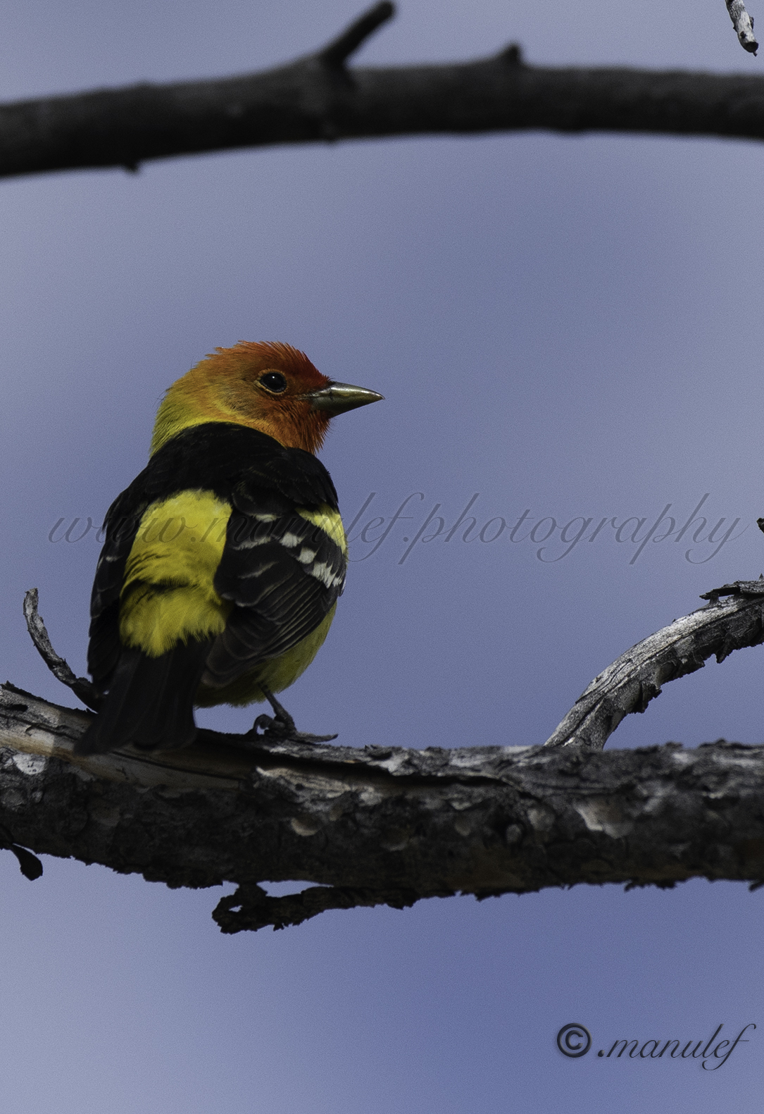 Western Tanager  001